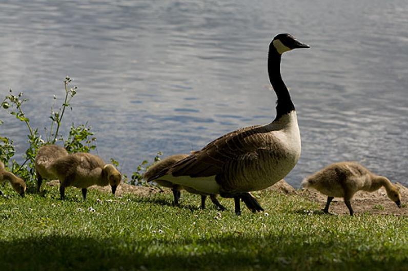 Ducks at the Warren Lodge